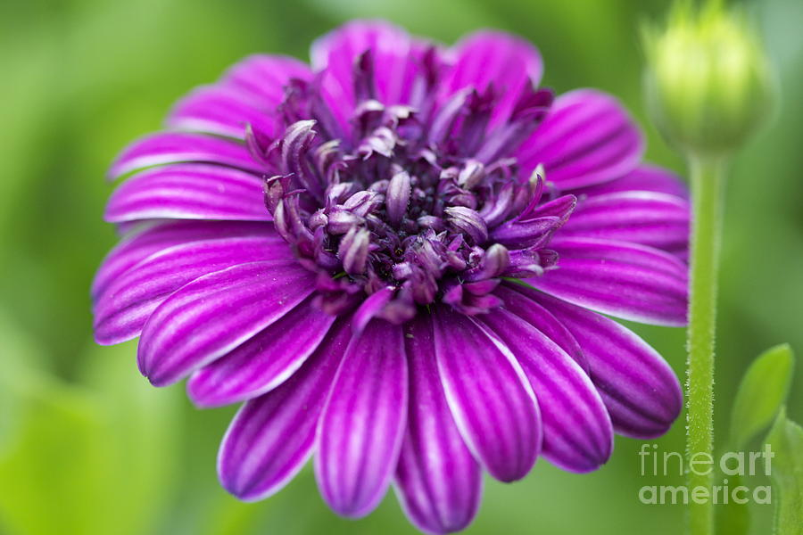 Blooming Daisy Photograph  - Blooming Daisy Fine Art Print