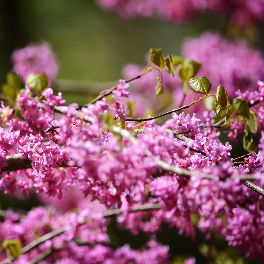 Blooming Redbud Tree Photograph - Blooming Redbud Tree Cercis Canadensis by Rebecca Sherman