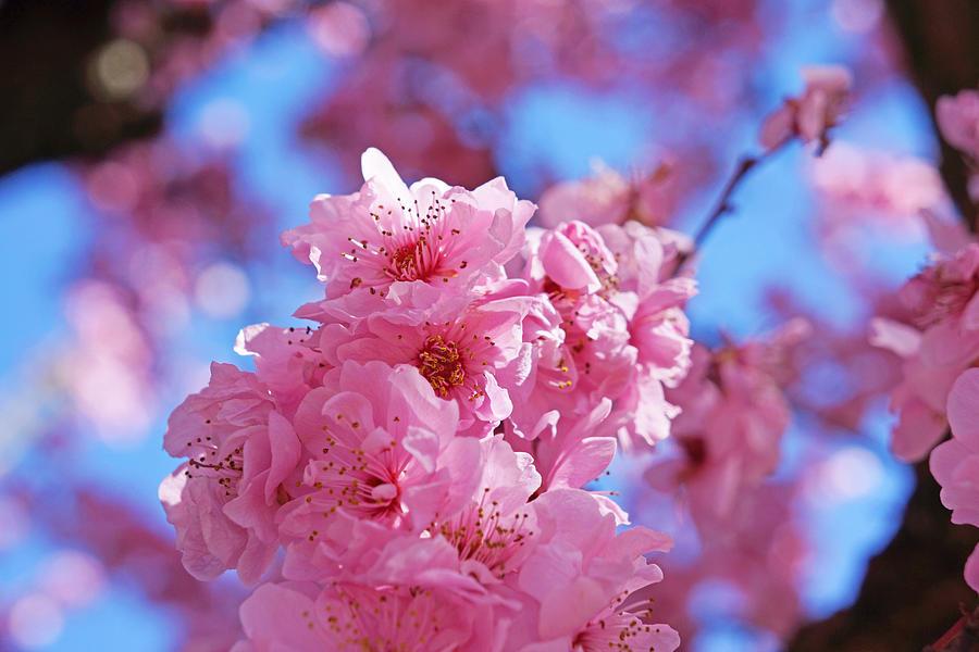 Blossom Flowers Trees Art Prints Photograph