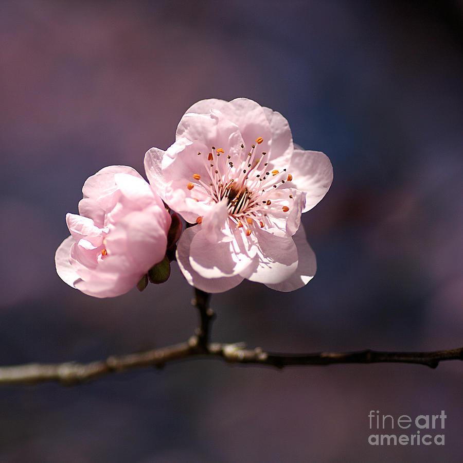 Blossom Photograph - Blossom by Joy Watson