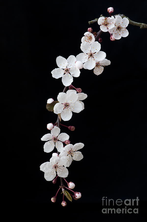 Prunus Photograph - Blossom On Black by Tim Gainey