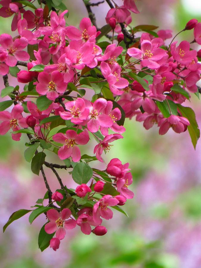 Blossoms And Lilacs Photograph