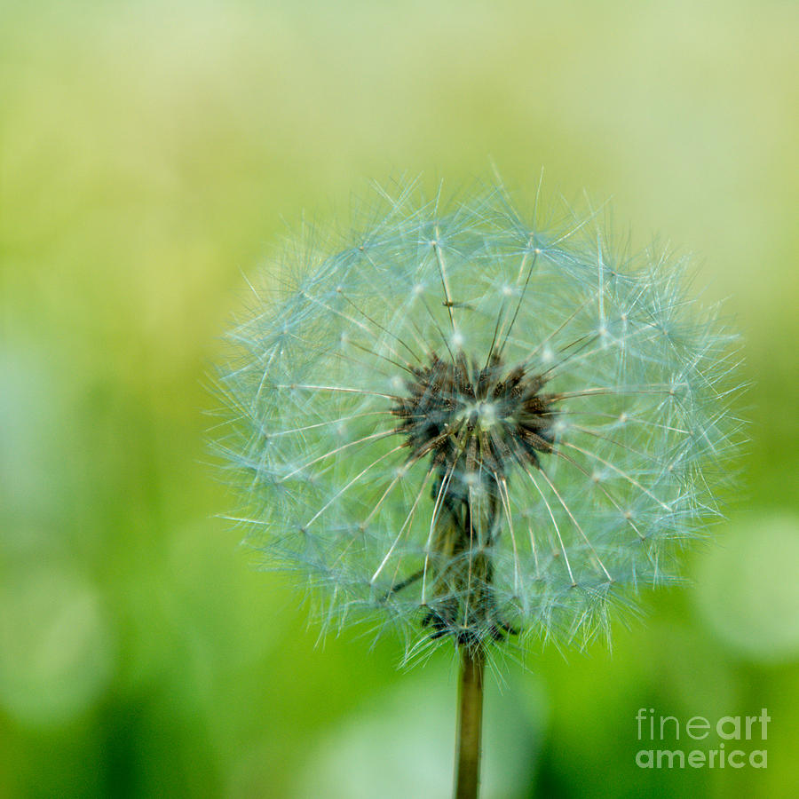 Blowball - 1x1 Photograph  - Blowball - 1x1 Fine Art Print