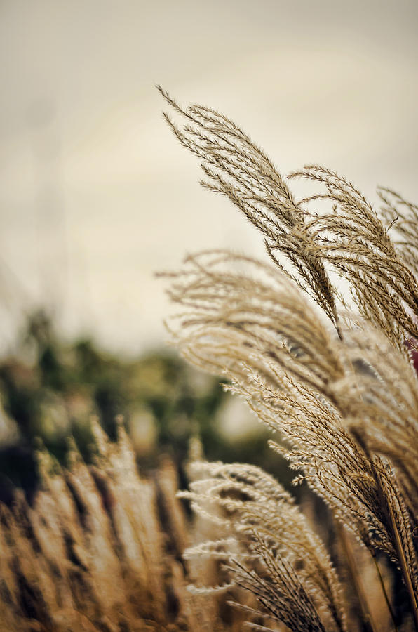 Grass Photograph - Blowing In The Wind by Heather Applegate