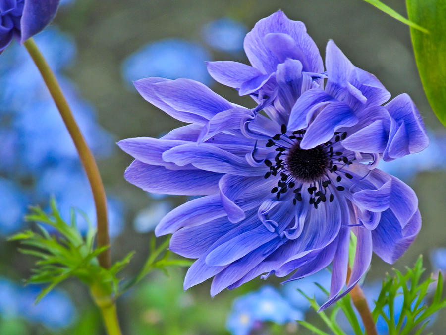 Blue Anemone Flower Blowing In The Wind Photograph  - Blue Anemone Flower Blowing In The Wind Fine Art Print