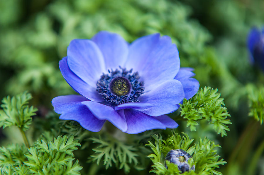 Blue Anemone. Flowers Of Holland Photograph by Jenny Rainbow