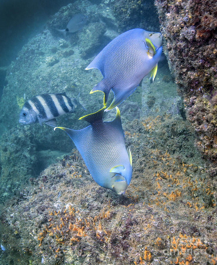 Blue Angelfish Feeding On Coral Photograph