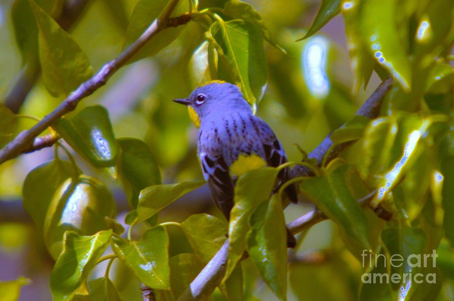 Blue Bird With A Yellow Throat Photograph