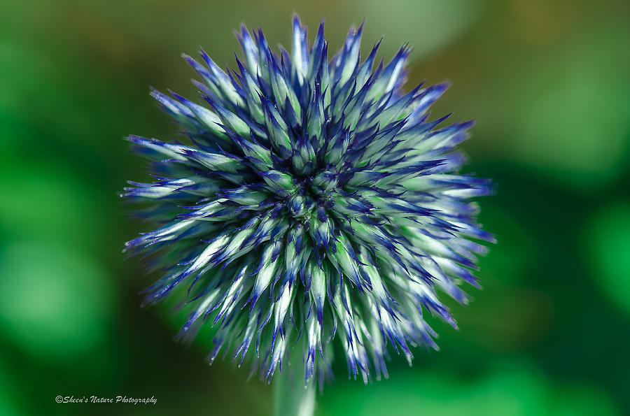 Flower Photograph - Blue Burst by Sheen Watkins