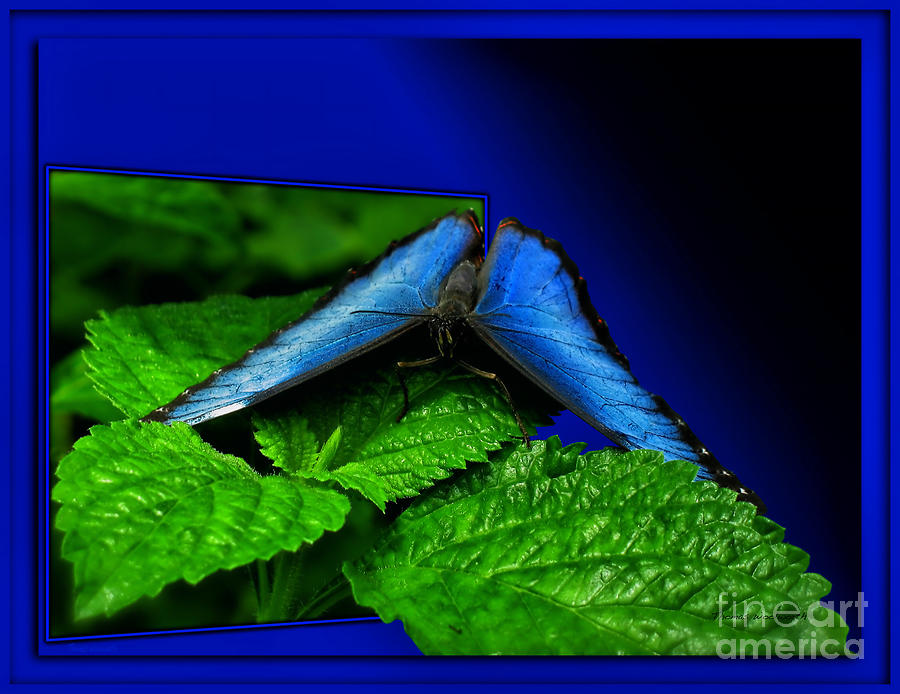Blue Butterfly 02 Photograph  - Blue Butterfly 02 Fine Art Print