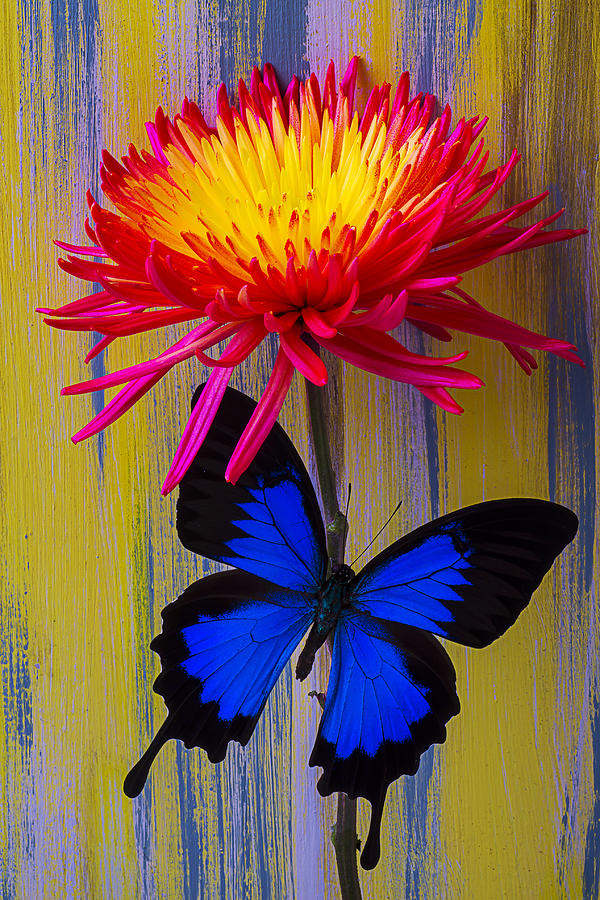 Red Yellow Spider Photograph - Blue Butterfly On Fire Mum by Garry Gay