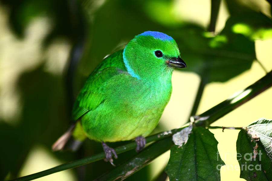 Blue Crowned Chlorophonia Photograph  - Blue Crowned Chlorophonia Fine Art Print