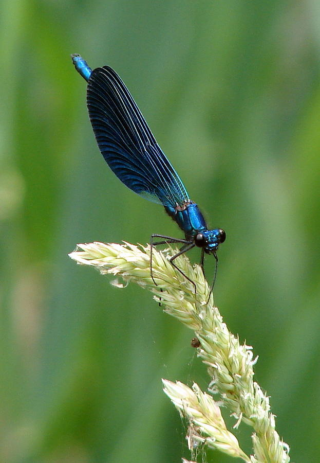 Blue Damselfly Photograph