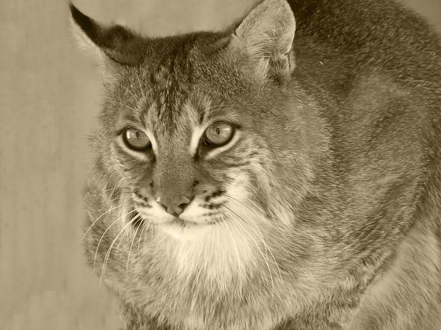 Blue Eyed Bobcat-sepia Photograph  - Blue Eyed Bobcat-sepia Fine Art Print