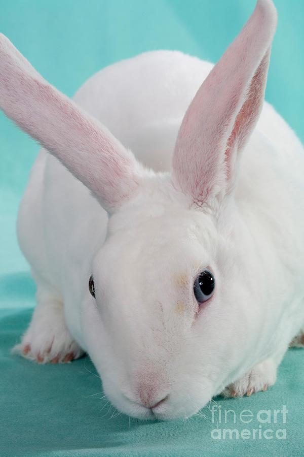 Blue-eyed White Mini-rex Rabbit Photograph by Carolyn A ...