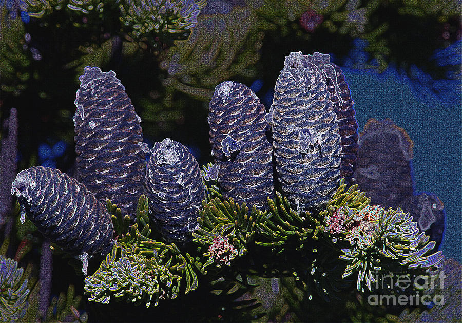 Blue Fir Cones 2 Outlined Photograph