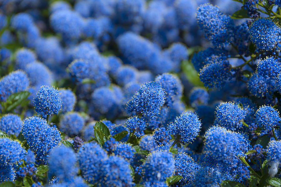 Blue Flowers Photograph