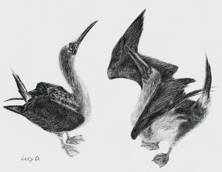 Blue-footed Boobies Drawing
