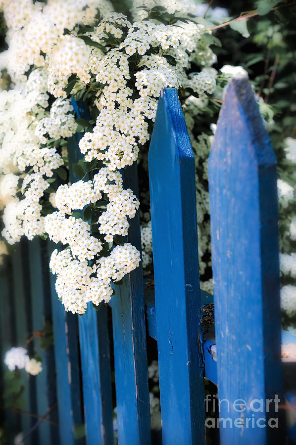 Blue Garden Fence With White Flowers Photograph