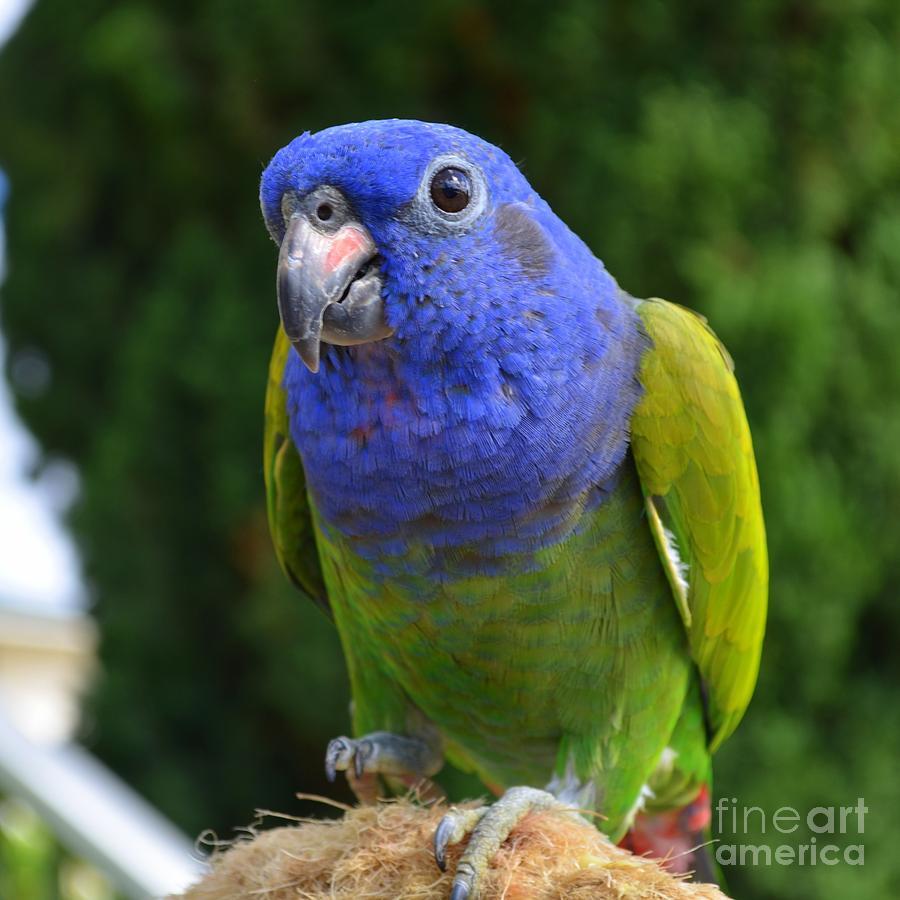 Blue Headed Parrot ima...