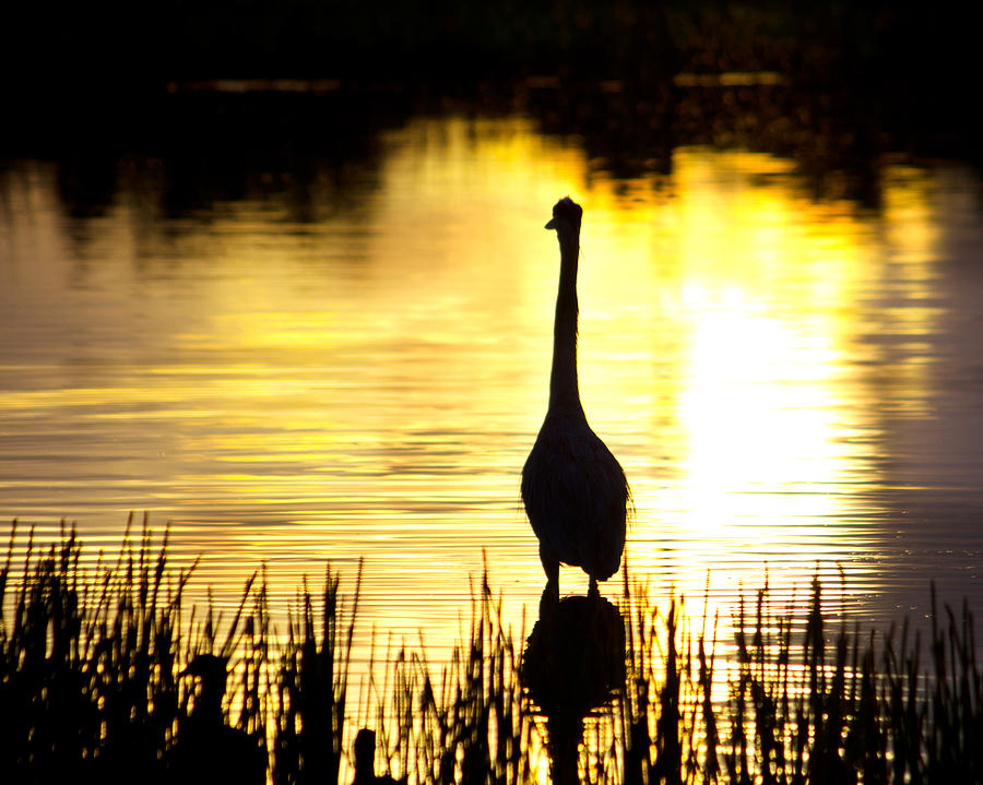 Blue Heron Sunrise Photograph  - Blue Heron Sunrise Fine Art Print
