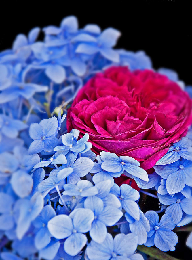 Blue Hydrangea Flowers And Bright Pink Roses Photograph by ...