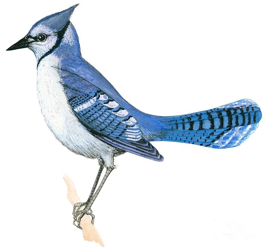 No People; Square Image; Side View; Full Length; White Background; One Animal; Wildlife; Close Up; Illustration And Painting; Zoology; Wing; Feather; Blue; Tail; Perching; Branch; Bird; Blue Jay; Cyanocitta Cristata Drawing - Blue Jay  by Anonymous