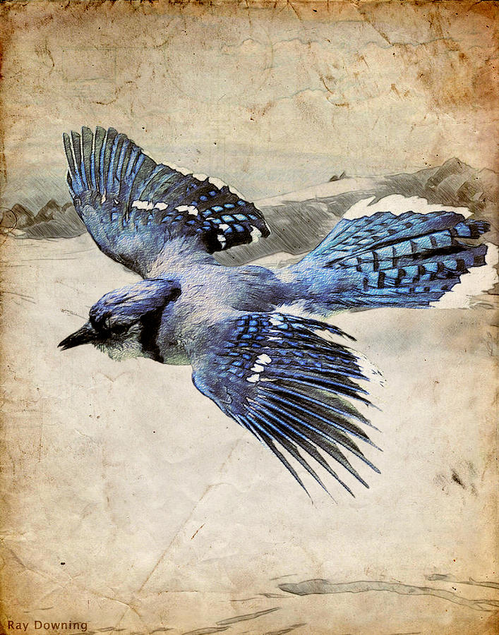 Blue Jay In Flight Digital Art  - Blue Jay In Flight Fine Art Print