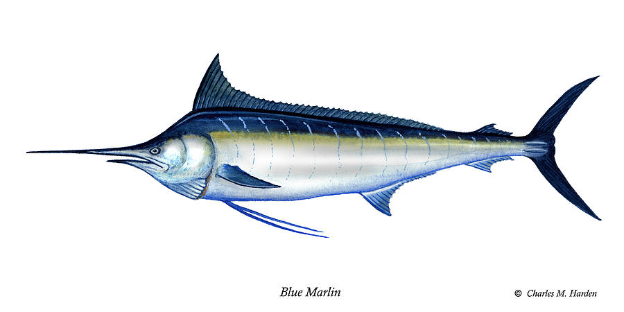 Charles Painting - Blue Marlin by Charles Harden