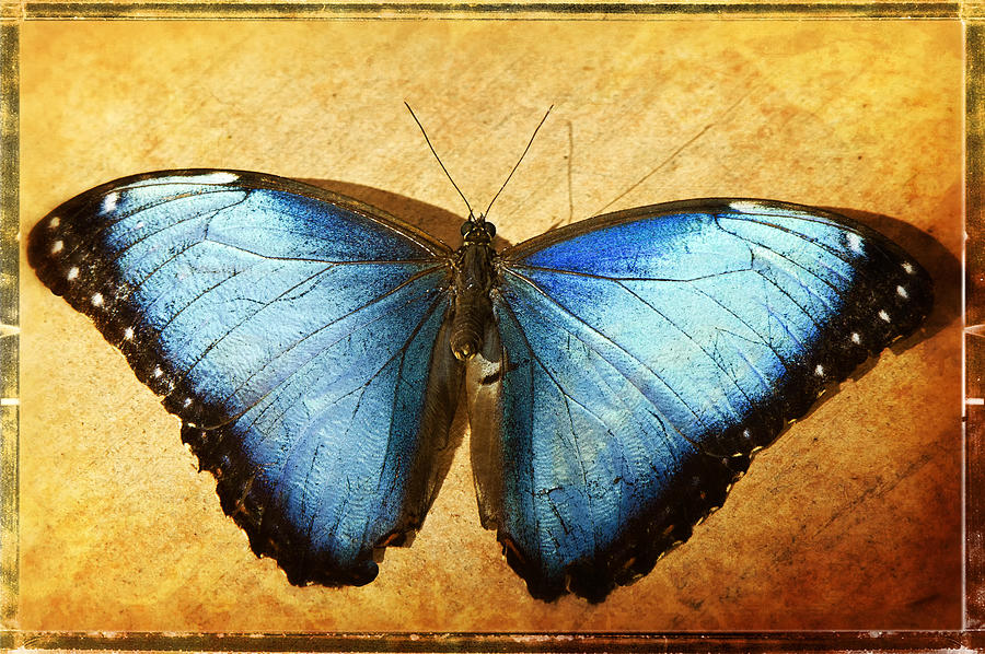 Blue Morpho Butterfly Photograph - Blue Morpho Butterfly  by Saija  Lehtonen
