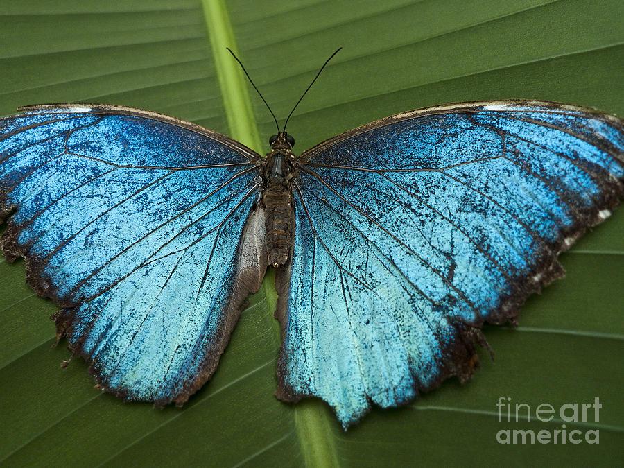 Blue Morpho - Morpho Peleides Photograph