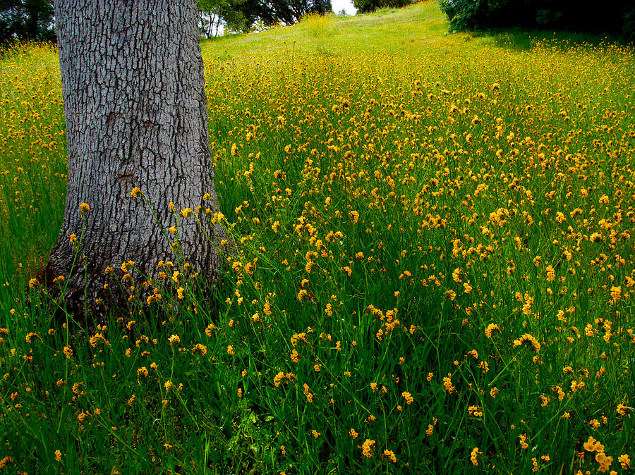 Blue Oak In A Field Of Fiddlenecks In Park Sierra-ca Photograph