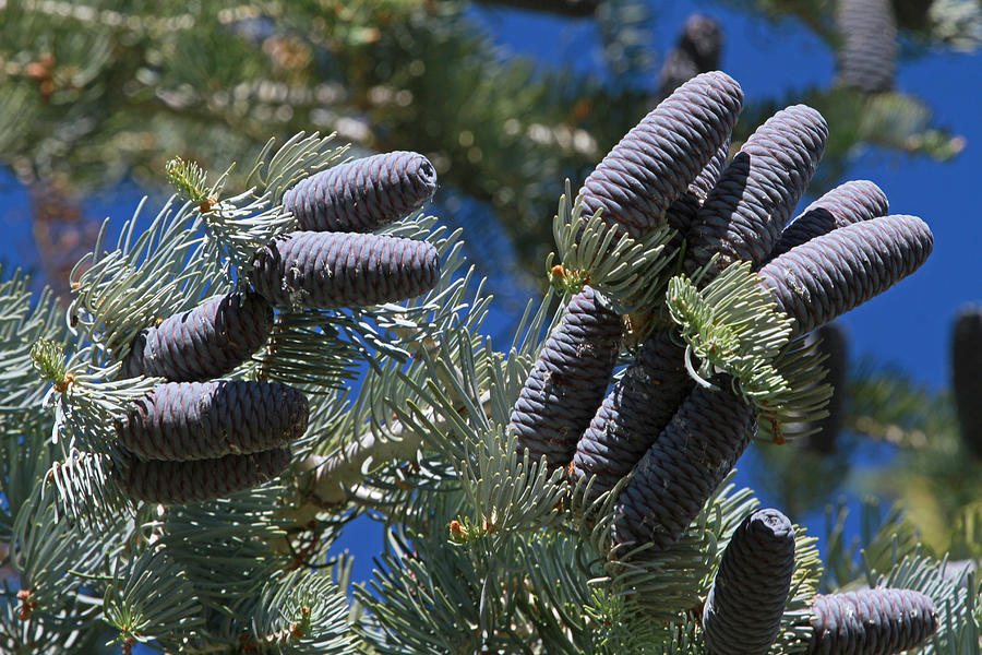Blue Pine Cones Photograph