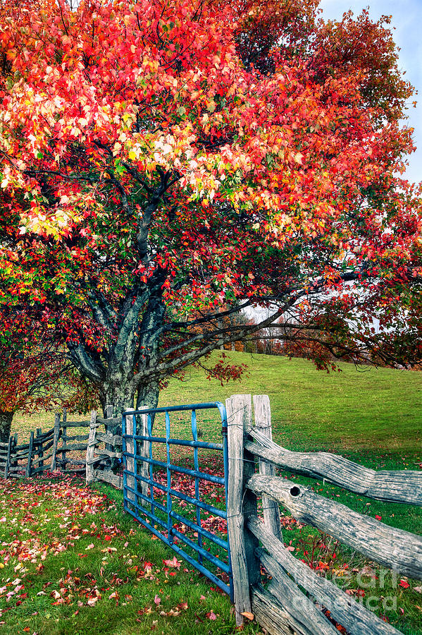 Blue Ridge - Fall Colors - Autumn Maple Tree Fence Gate I Photograph  - Blue Ridge - Fall Colors - Autumn Maple Tree Fence Gate I Fine Art Print