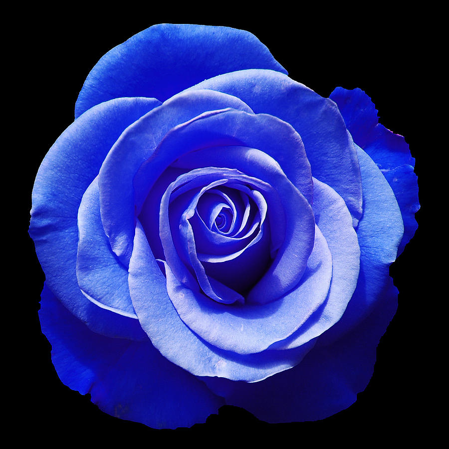 Blue Rose Photograph  - Blue Rose Fine Art Print