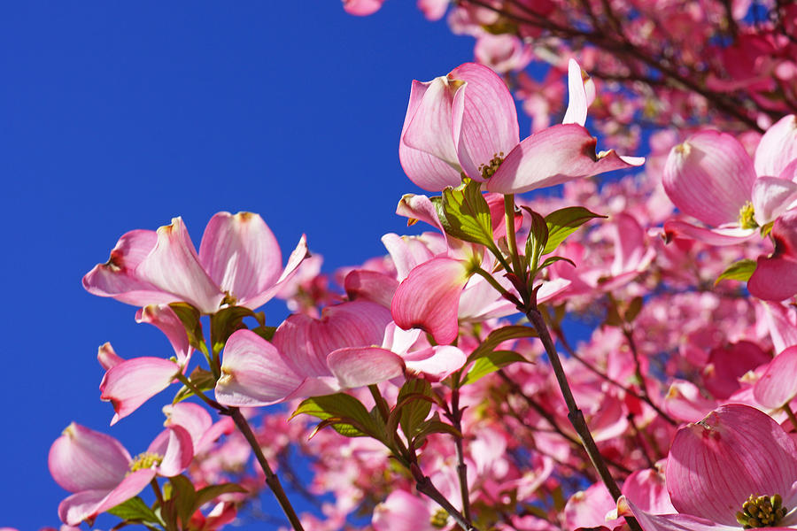 Blue Sky Art Prints Pink Dogwood Flowers Photograph