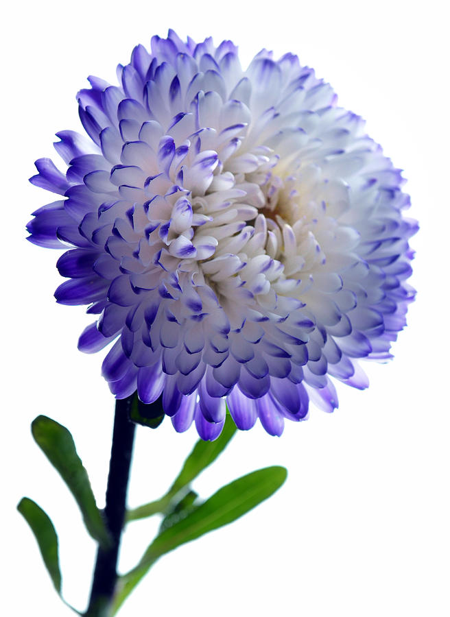 Blue Tipped Aster Photograph