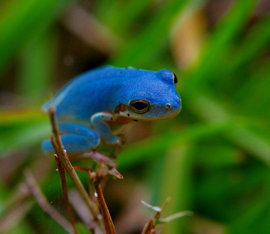 Tree Photograph - Blue Tree Frog by April Wietrecki Green
