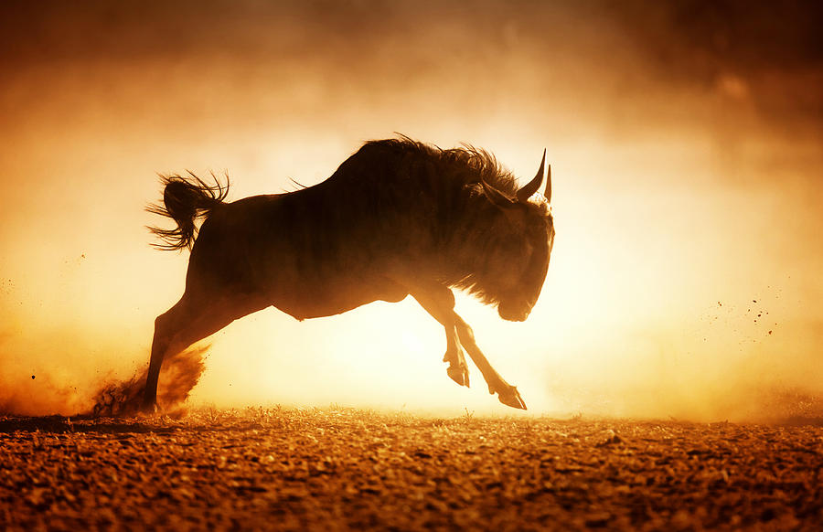 Blue Wildebeest Running In Dust Photograph