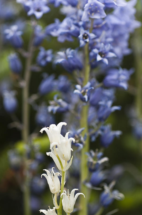 Bluebell Photograph - Bluebells 1 by Steve Purnell