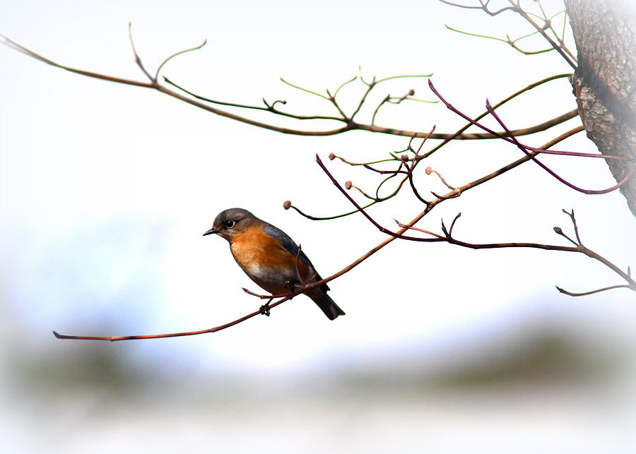 Bluebird And Dogwood Photograph  - Bluebird And Dogwood Fine Art Print