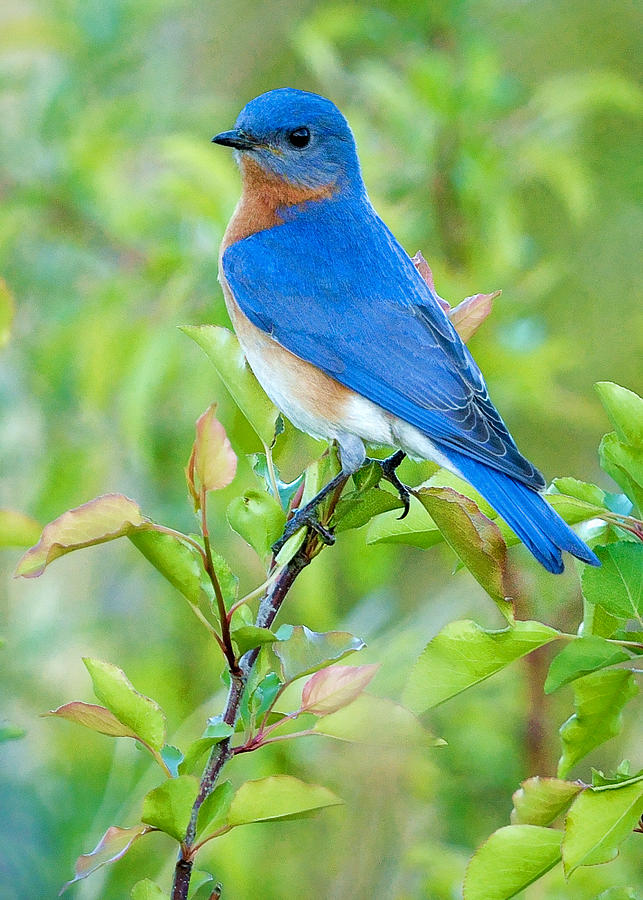 Bluebird Joy Photograph