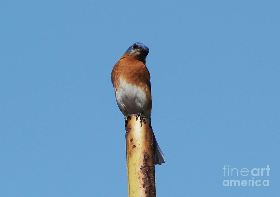 Bluebird Photograph - Bluebird by Theresa Willingham