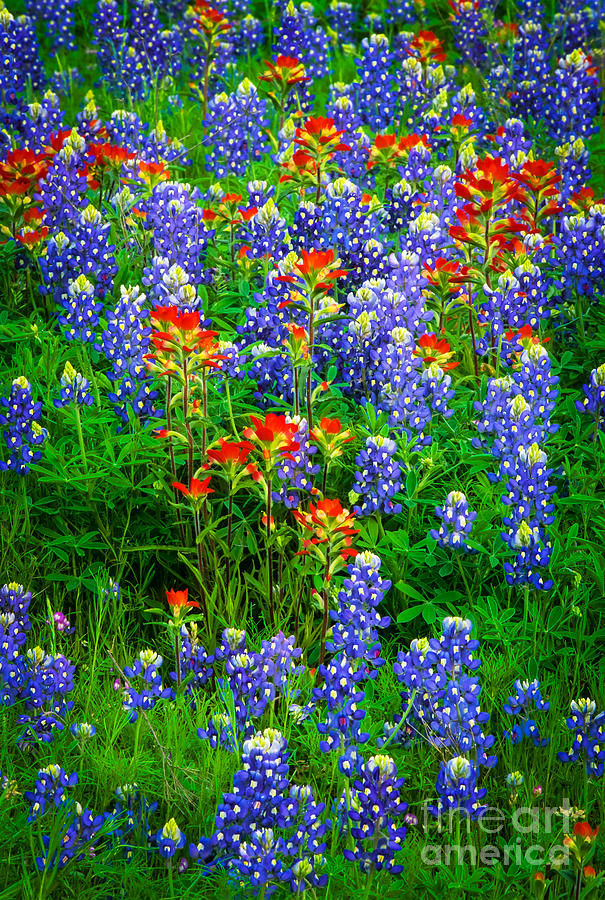 Bluebonnet Patch Photograph  - Bluebonnet Patch Fine Art Print