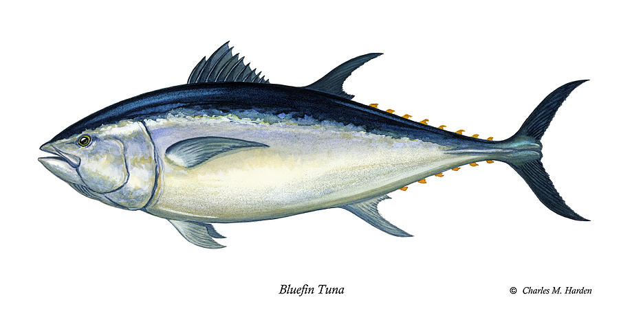 Charles Painting - Bluefin Tuna by Charles Harden