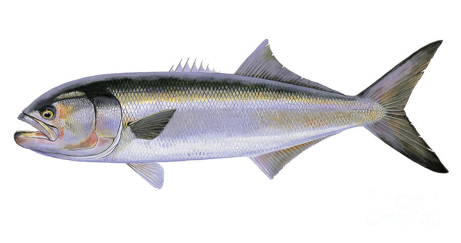 Bluefish Painting - Bluefish by Carey Chen