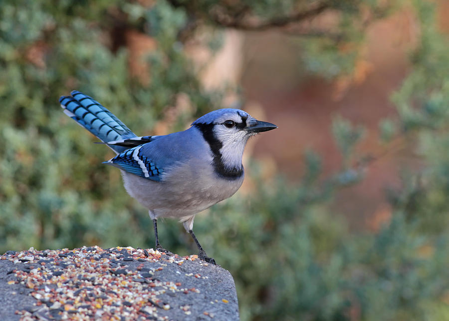 Bluejay Photograph