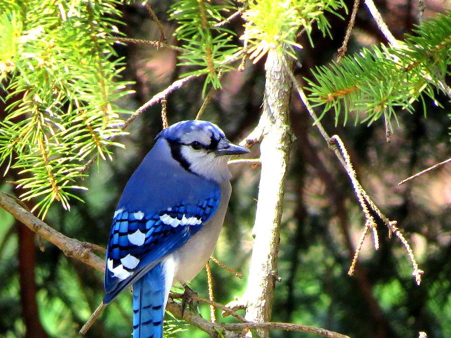 Bluejay Photograph - Bluejay by Stephen Melcher