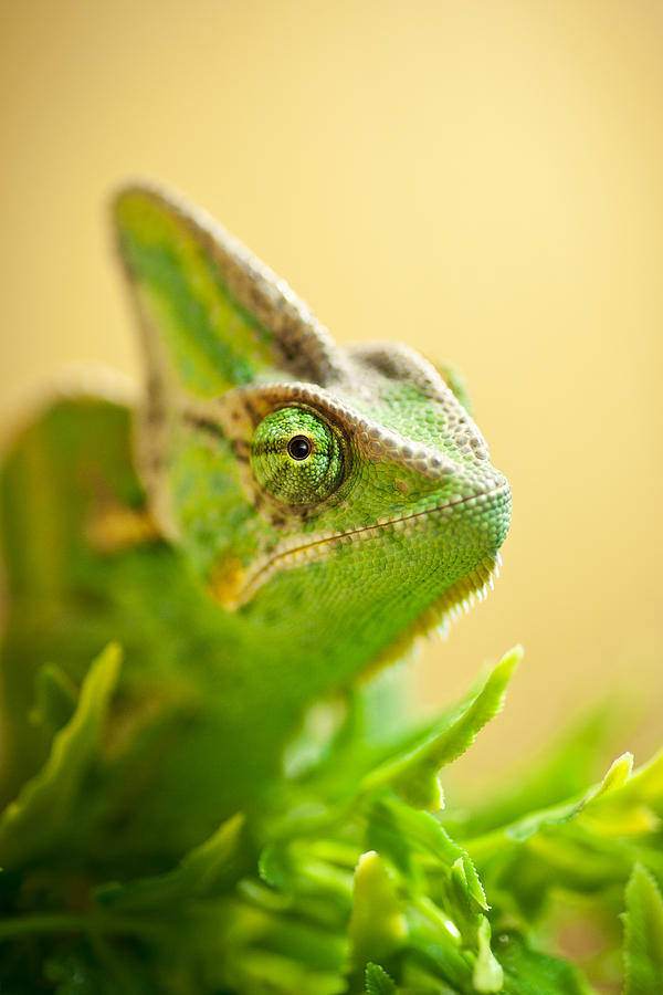 Bob The Chameleon  Photograph