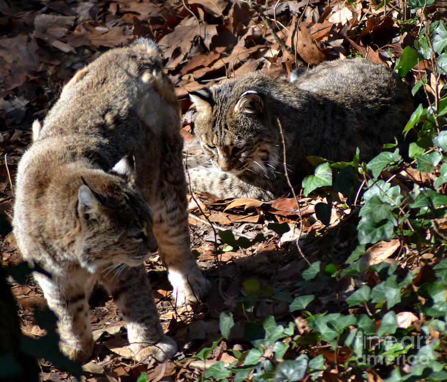 Bobcat Couple Photograph  - Bobcat Couple Fine Art Print